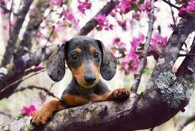 Dog In Spring hd wallpaper   Dachshund dog, Dog muzzle, Weenie dogs