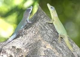 Florida Lizards Florida Museum Of Natural History