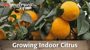 Best Grow Light For Citrus Tree Growing Indoor Citrus Organically