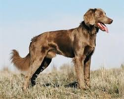 the right side of a long coated gray weimaraner dog standing across a field with um