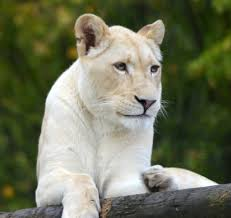 white lioness. Contemporary White Izulu The White Lioness Daughter Of Kya  By Samoyeddawn In White Lioness