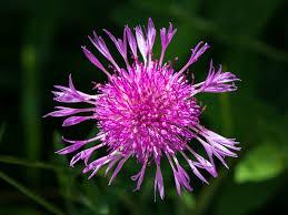 Centaurea jacea - Wikipedia