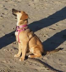 Puppy Growth Chart Xena Beagle Female