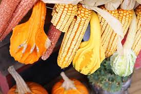 ears of corn eaten by squirrel and chipmunks