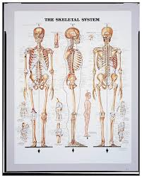 Anatomical Chart Series Body Systems Teaching Supplies Classroom