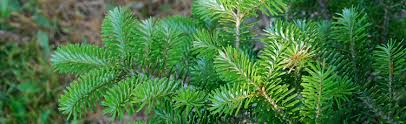 Evergreen ID - Look for an Evergreen Day (Dec. 19) :: Melinda Myers