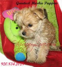 dogs dog puppies puppy dog breeds puppies for small morkie picture gallery