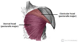 I often get asked, how can i build thick powerful pecs? Muscles Of The Pectoral Region Major Minor Teachmeanatomy