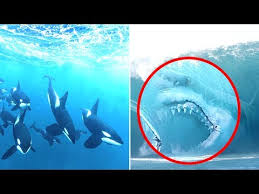 megalodon shark compared to killer whale.  Whale Megalodon Vs Orca Who Would Win Inside Shark Compared To Killer Whale R