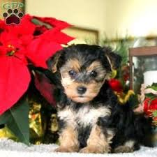 sully 900 00 east earl pa yorkie poo puppy