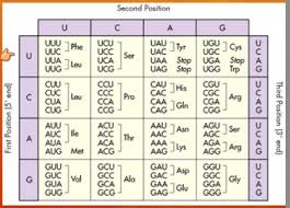 Trna Anticodon Chart If A Trna Molecule Has An Anticodon Which Reads Aug What