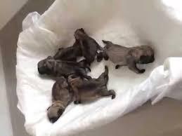 newborn baby pugs. Fine Newborn Intended Newborn Baby Pugs YouTube