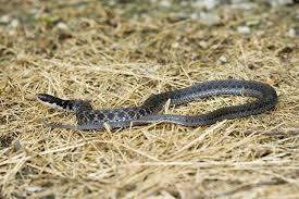 Snakes Of Pennsylvania 21 Species 3 Of Them Venomous