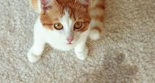 how to get rid of cat smells and stains