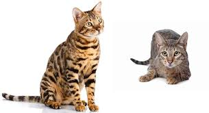 savannah cat chart savannah cat vs bengal which wild hybrid is right for you