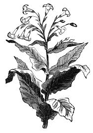 tobacco plant clipart. Perfect Tobacco For Tobacco Plant Clipart O