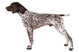 German Shorthaired Pointer Puppy Weight Chart German Shorthaired Pointer Dog Breed Information