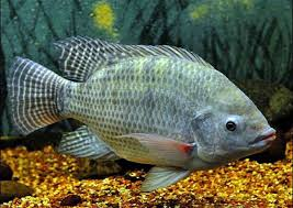 Resultado de imagem para imagens de receitas de peixes PIRARARA