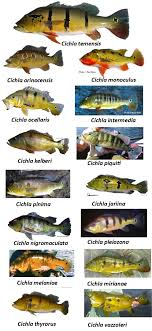 Bass Species Chart Guide To Gamefish Of The Amazon Basin Other Peacock Bass