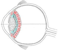 eye jpg diagram of the human eye out labels diagram sensory organs human eye diagram