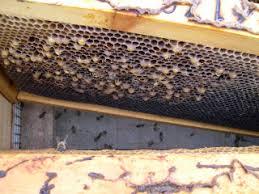 Αποτέλεσμα εικόνας για αρενοτοκα μελισσια