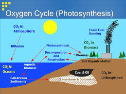 Oxygen Cycle With Diagram Brainly In