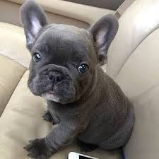 cute blue french bulldog puppies. Balou The Blue French Bulldog Puppy Animal Love Pinterest Puppies And Intended Cute