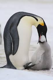 emperor penguins eating.  Eating Emperor Penguins Feeding Chick For Eating O