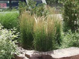 Overdam Feather Reed Grassphoto Arbortanics Inc Landscaping