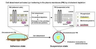 role of membrane cholesterol levels in