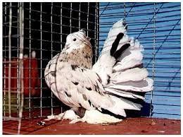 Imagini pentru poze cu porumbei de ornament