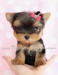 miniature yorkshire terrier for in scotland