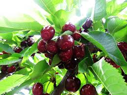 420 Best Fruit Trees Images On Pinterest  Fruit Garden Organic Cherry Fruit Tree Care