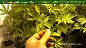cannabis high humidity