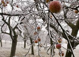How To Prune A Plum Tree  YouTubePlum Tree Not Producing Fruit