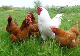 مرغداران-مرغ-را-با-کیلویی-۲-هزار-تومان-ضرر-میفروشند