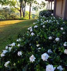 outdoor garden with gardenia plants