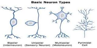 Types Of Neurons Assignment Point
