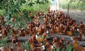 Image result for housing in free range systems