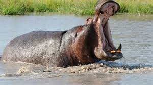 Image result for picture of hippopotamus