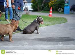 Light Grey Pitbull Grey Color Pitbull Dog With Cropped Ears Standing With His
