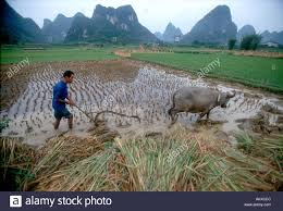 chinese rice field. Perfect Rice Chinese Farmer Plowing Rice Fields With A Water Buffalo In An Agricultural  Landscape Yangshuo China  Inside Rice Field I
