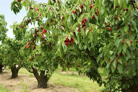 Cherry Tree Types U2013 What Are Some Common Varieties Of Cherry TreesCherry Fruit Tree Care