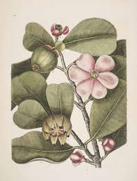 Clusiaceae - Wikipedia