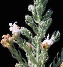 Cressa cretica L. | Flora of Israel Online