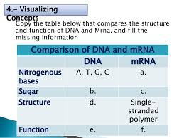 Compare And Contrast The Structure Of Trna And Mrna