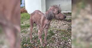 sick and skinny dog was locked up in ta house before being rescued the dodo