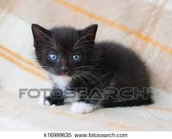 fluffy black kittens with blue eyes. Modren Fluffy Small Black Fluffy Kitten With Blue Eyes Looking At Fright Plaid Background With Fluffy Black Kittens Blue Eyes