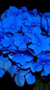 ng38-hydrangea-blossom-flower-blue-dark ...