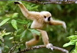 Znalezione obrazy dla zapytania gibbon